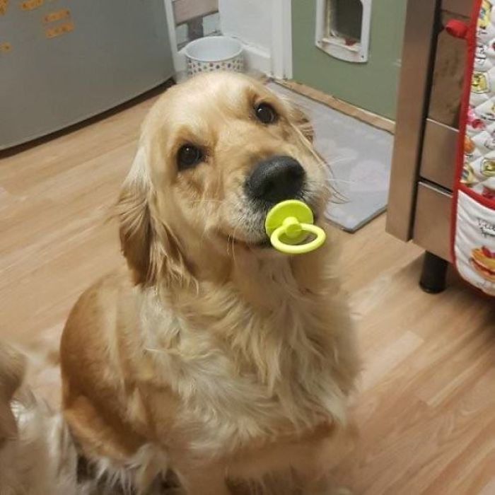 My Golden Found Her Rubber Pacifier She'd Lost As A Puppy