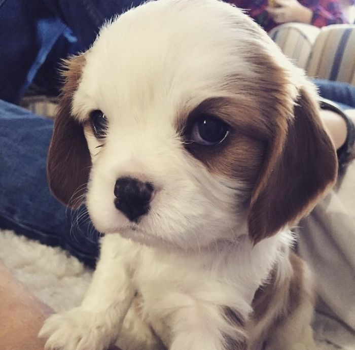My Cavalier King Charles Spaniel Puppy. 3-Weeks-Old And The Cutest Little Guy Ever!