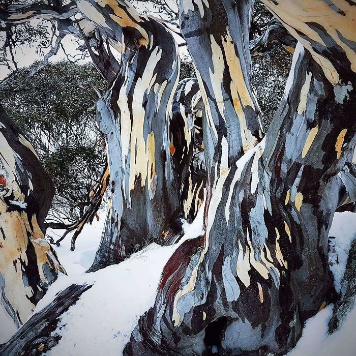 Bark Of A Snow Gum Tree Looks Like A Painting