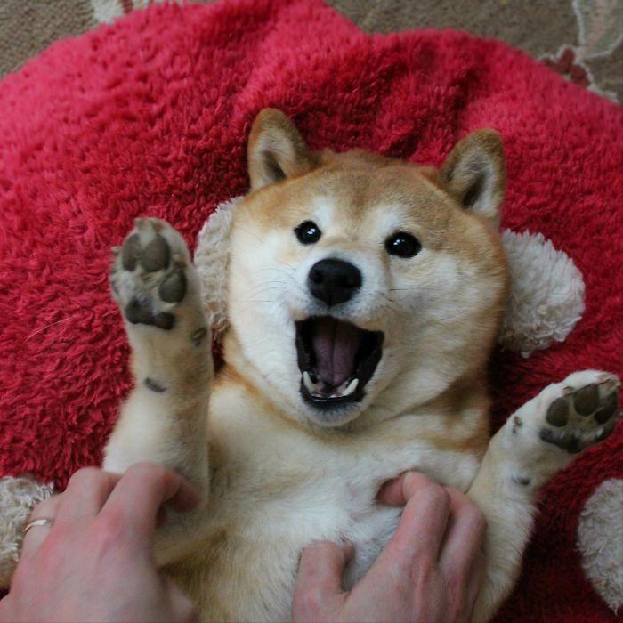 Tickling A Shiba Inu