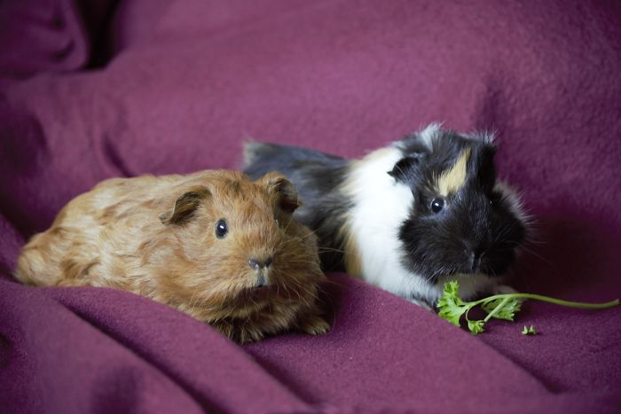 A Wonderful Birthday Surprise: Meet Almond And Pancake The Guinea Pigs