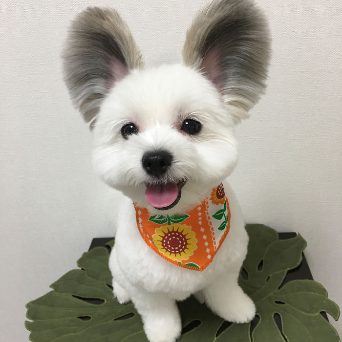 Meet Goma, The Rat-Eared Dog That Is Conquering The Internet