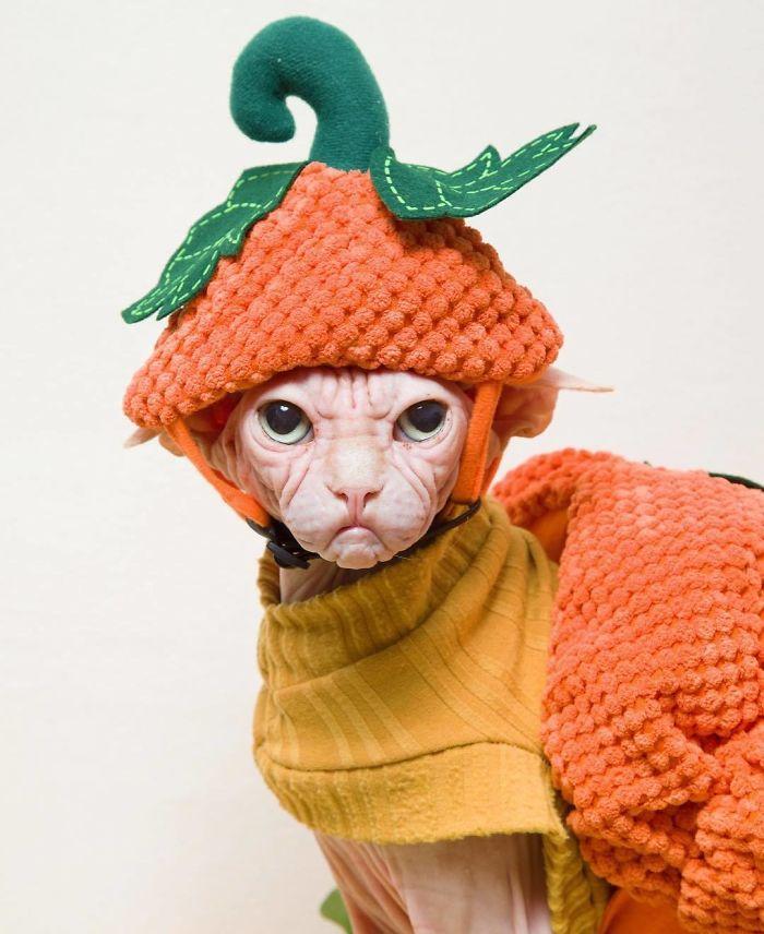 Grumpy-Cat-Loki-The-Sphynx