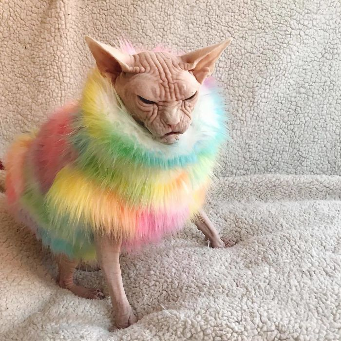 Funny Bald Cat Pictures