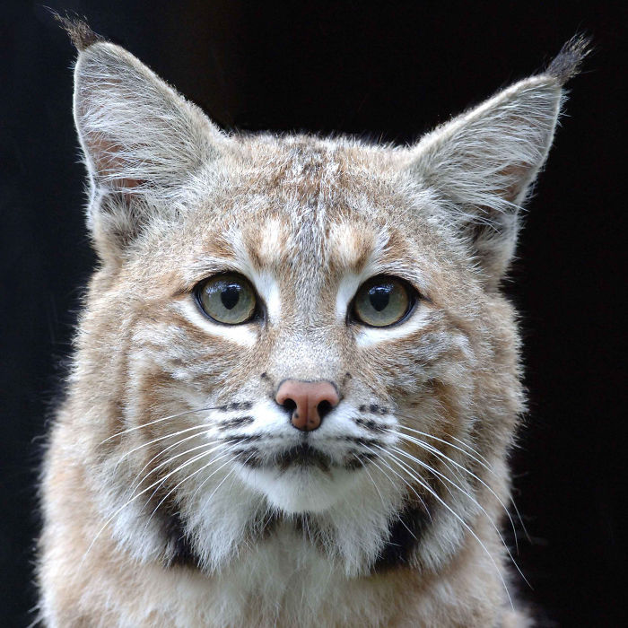 Help Prevent Bobcat Trapping!