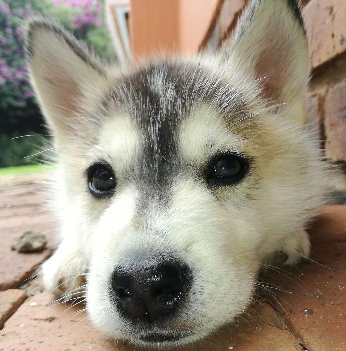 Dimsum My Fluffy Siberian Husky