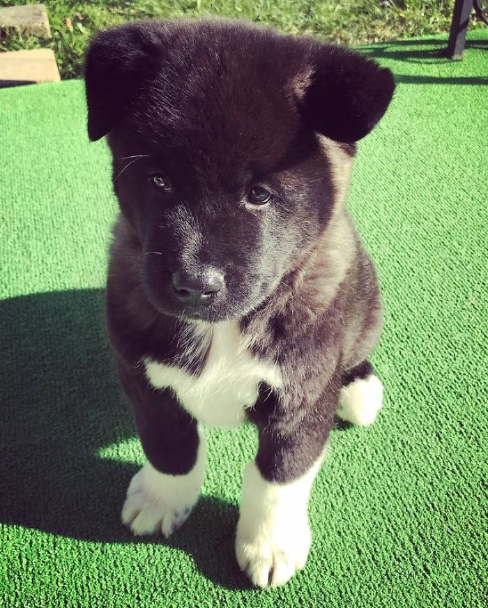 This Is Bear A 10 Week Old Akita Puppy