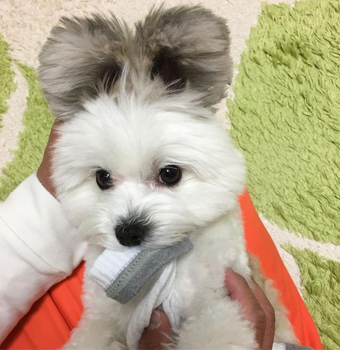 Funny-Fluffy-Ears-Dog-Goma