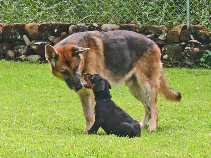 Grotto (German Shepherd) And Kasper (Rottweiler)