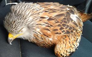 Este hombre rescató a un ave herida y seguro que ahora desearía no haberlo hecho
