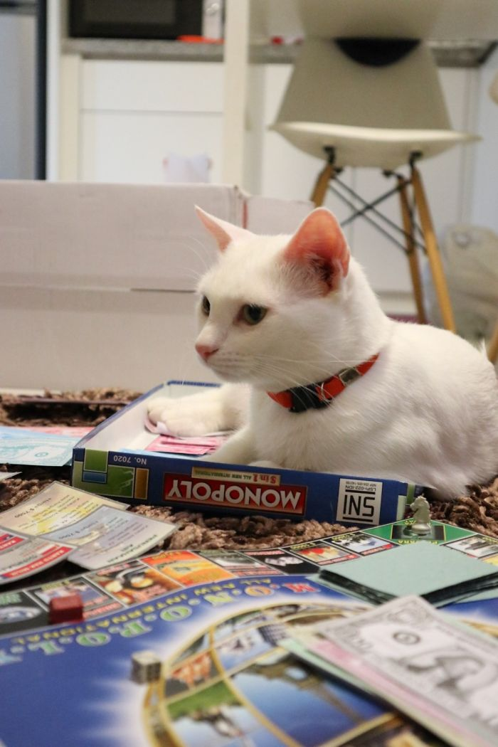 My Cat : Hooman You Don't Need Board Games, You Only Need Me ( She Sat On The Money)
