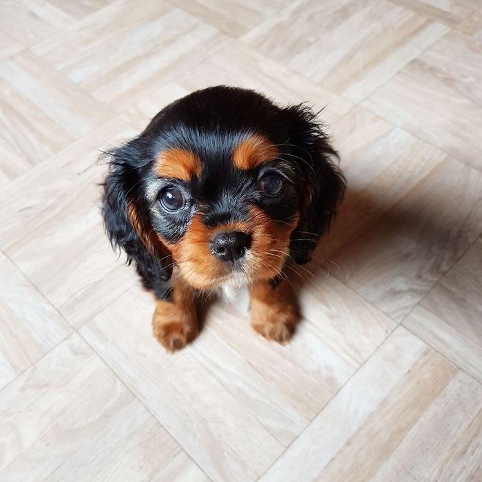 My Cavalier Pup At 8 Weeks Old