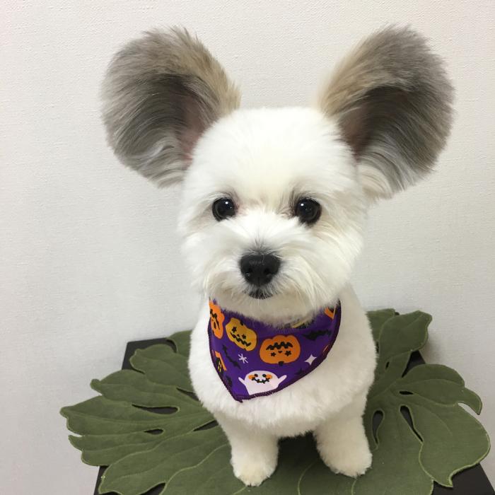 Internet está obsesionado con este perro de orejas de Mickey Mouse, sus fotos te alegrarán el día