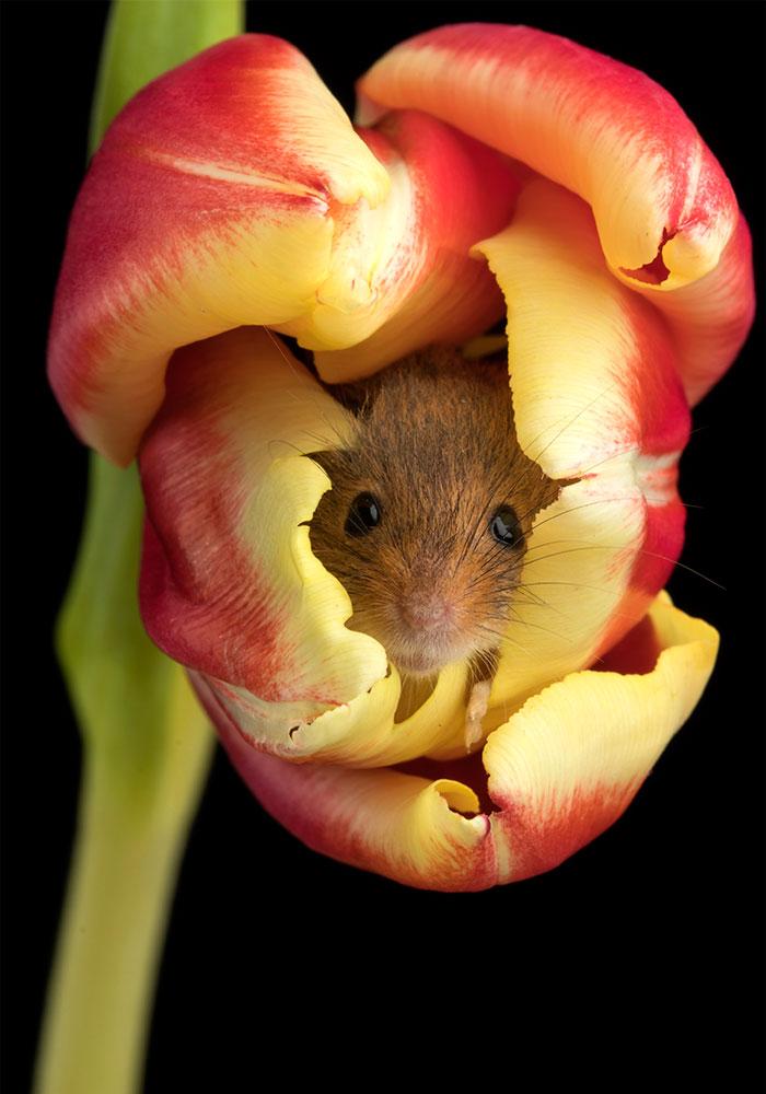 [Image: cute-harvest-mice-in-tulips-miles-herber...c__700.jpg]