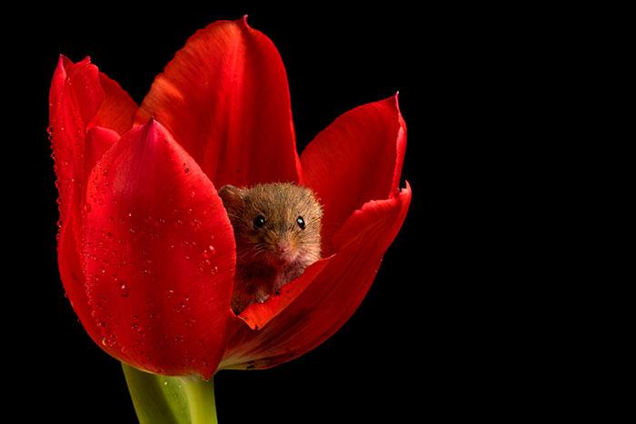 [Image: cute-harvest-mice-in-tulips-miles-herber...d__700.jpg]