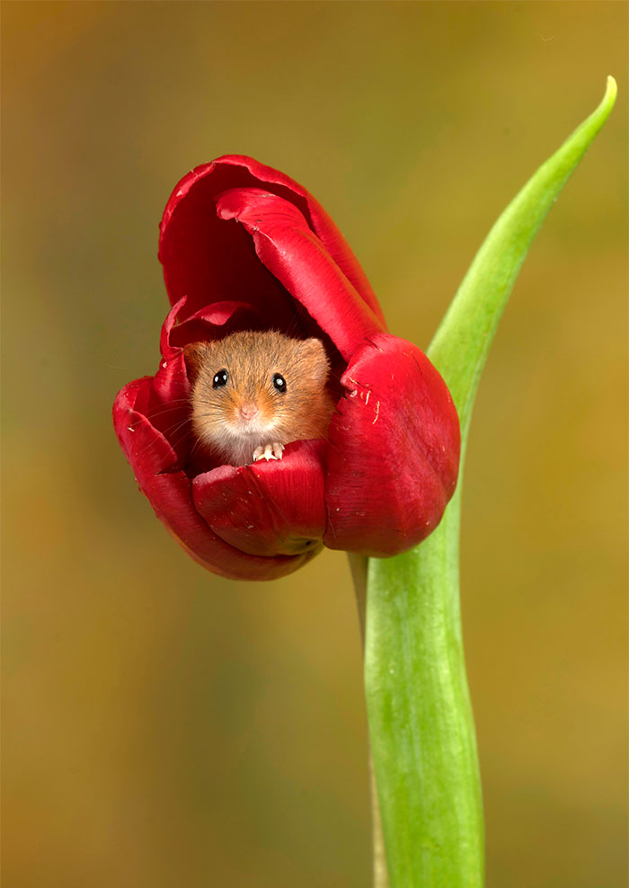 [Image: cute-harvest-mice-in-tulips-miles-herber...0__700.jpg]