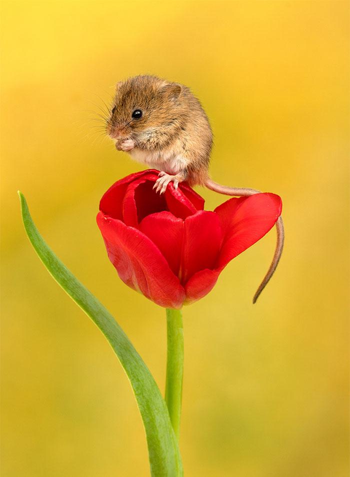 Тюльпаны становятся реквизитом для съёмки мышей