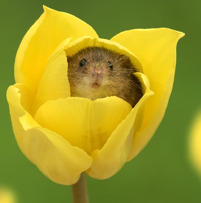 Este fotógrafo se cuela entre los tulipanes para retratar al ratón espiguero, y el resultado te alegrará el día