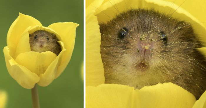 2e6f9e668bd Photographer Tiptoes Through The Tulips To Photograph Mice (20 Pics ...