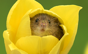 Photographer Tiptoes Through The Tulips To Shoot Harvest Mice, And The Result Will Make Your Day