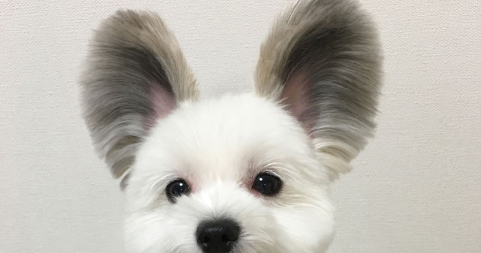 Dog Breeds With Big Ears That Stand Up