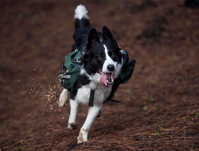 Three Border Collies Have Been Trained To Run Around A Chilean Forest Devastated By Wildfire While Wearing Special Backpacks That Release Native Plant Seeds