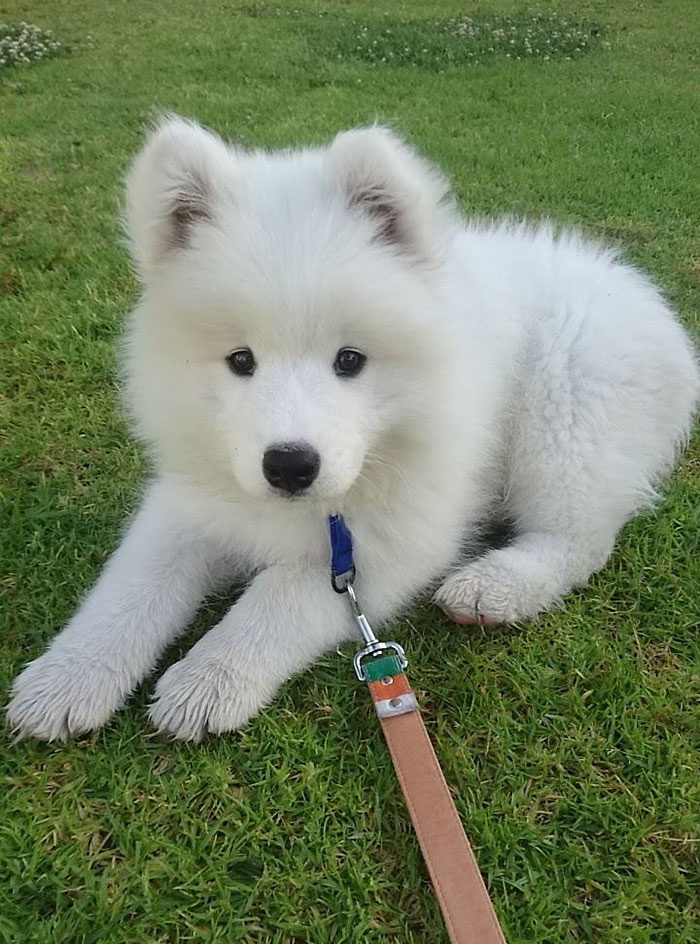 I Love This Little Guy So Much Already! Meet Nimbus, My 10-Week-Old Samoyed Pup