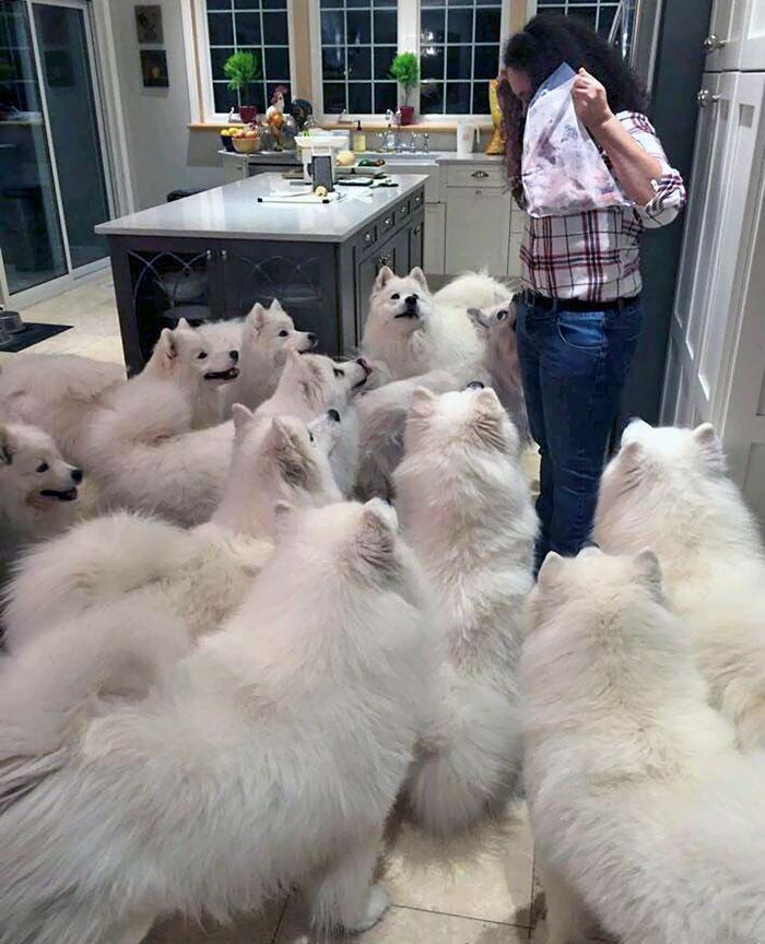 Dog Heaven. Samoyed Overload