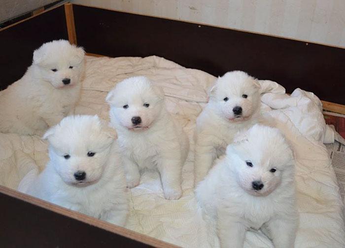 Baby Samoyeds Look Like Little Polar Bears