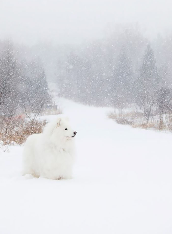 Samoyed In A Blizzard