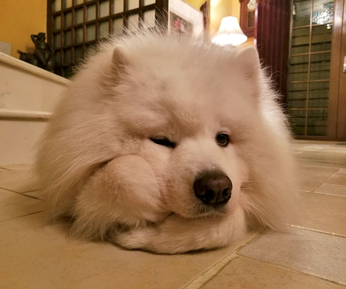My Samoyed Likes To Prop His Head Up Like A Human