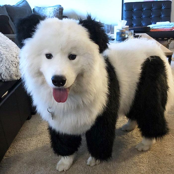 Enzo Was A Panda For Halloween