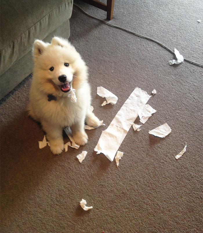 Came Home To My Samoyed Puppy Kairo Looking Extremely Proud Of What He'd Done. The Toilet Paper Hanging From His Mouth Was The Giveaway!