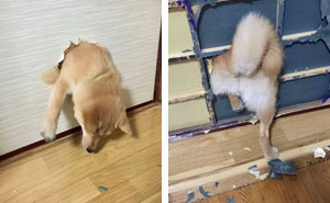 20+ Times Shibas Proved They're The Most Much Wow Dogs Ever