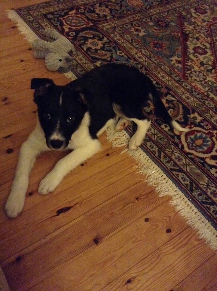 This Is Ace The 3 Month Old Border Collie. The Picture Was Taken 3 Days After We Adopted Him.