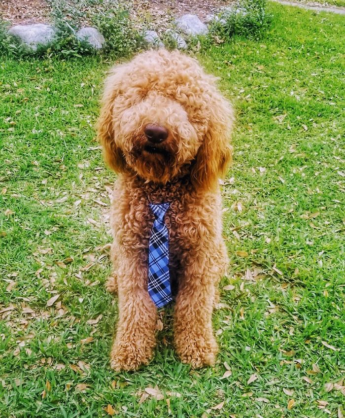 Fozzie The Goldendoodle Was Trying On His New Tie