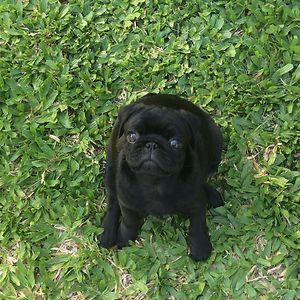 Piñón The Pug! 🤗
