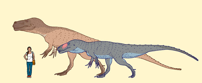 The Recently Discovered Torvosaurus Gurneyi, One Of The Largest Meat-Eating Dinosaurs Known From Europe, In Scale With Torvosaurus Tanneri, Its American Relative, And A Present-Day Girl