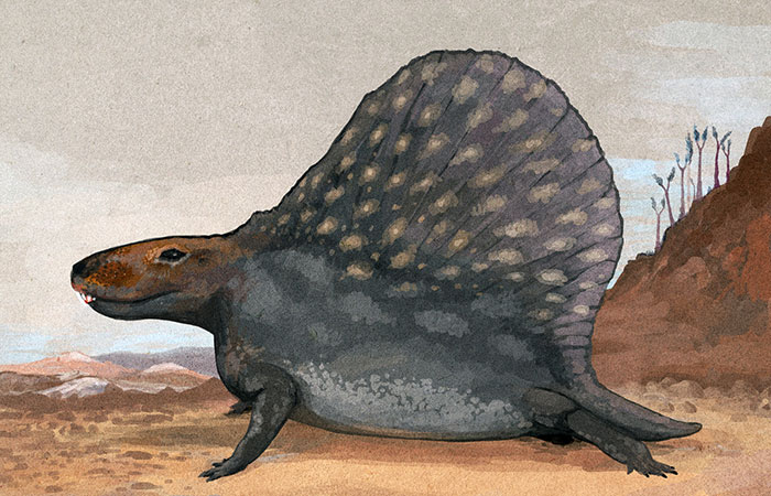 A Short-Tailed Form Of The Popular Sail-Backed Repto-Mammal Dimetrodon. The Background On This Image Is Inaccurate. These Animals Mostly Inhabited Swamps And Jungle