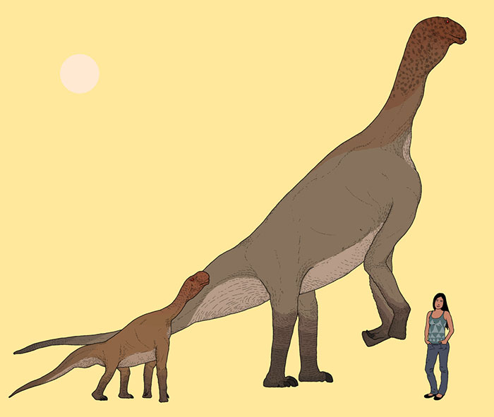 Adult And Juvenile Atlasaurus Dinosaurs In Scale With A Modern-Day Person