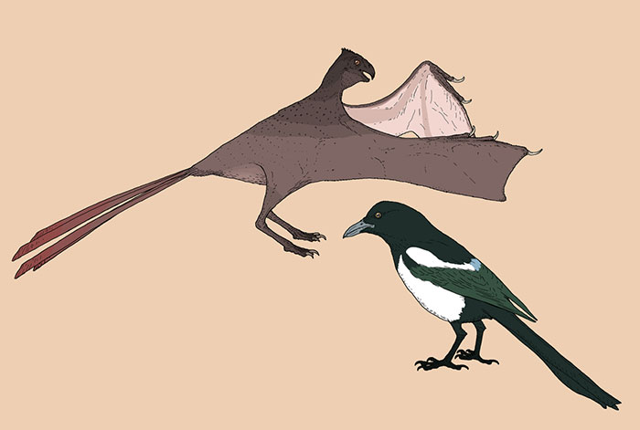 Measured Drawings Of The Newly-Discovered, Skin-Winged Dinosaur Yi Qi, Compared With A Modern-Day Magpie, Pica Pica