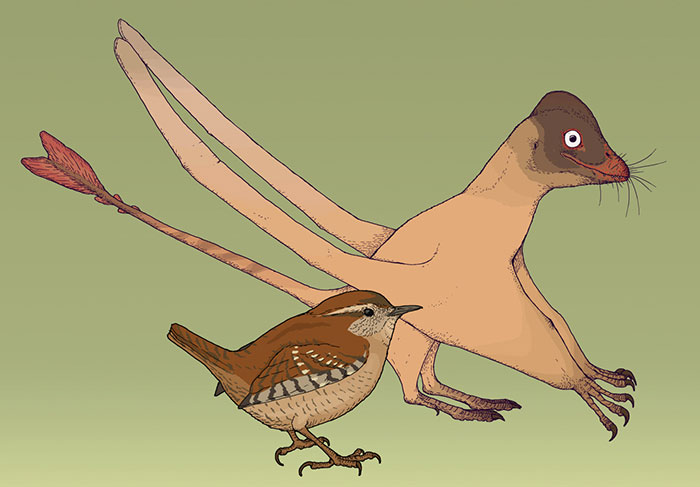Measured Drawing Of The Small Chinese Pterosaur Qinglongopterus, A Relative Of Rhamphorhynchus. This Flying Reptile Is Known From The Fossil Of A Very Small Juvennile - Not Much Larger Than The Eurasian Wren, Troglodytes Troglodytes Living Today