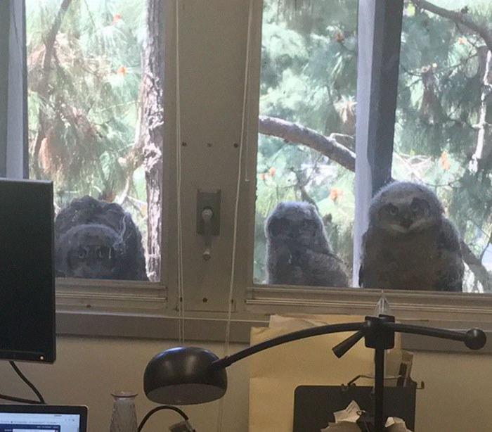 The Internet Can't Stop Laughing At These Owls Who Were Born Outside Of Office Window And Now Do This