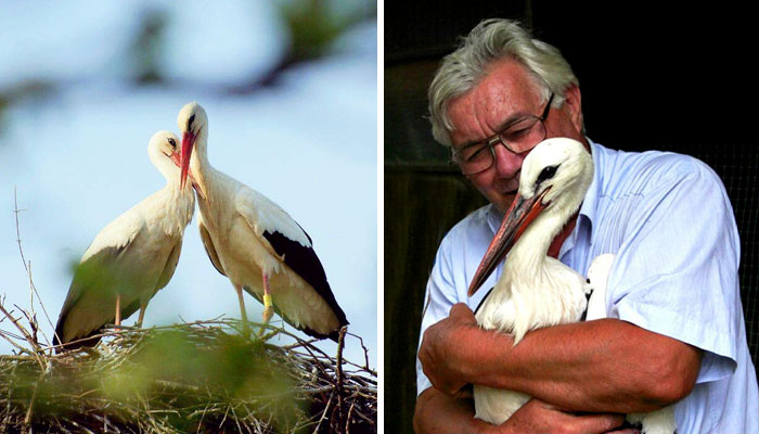 This Stork Has Been Flying 13,000 Km Each Year For 16 Years To See His Injured Soulmate