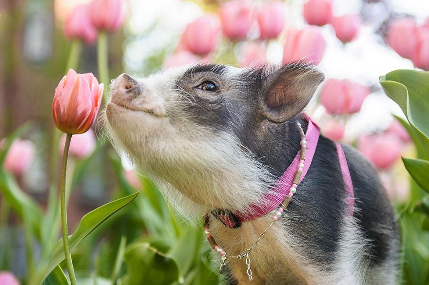 Ova slatka svinja među ružičastim tulipanima razveselit će vam dan