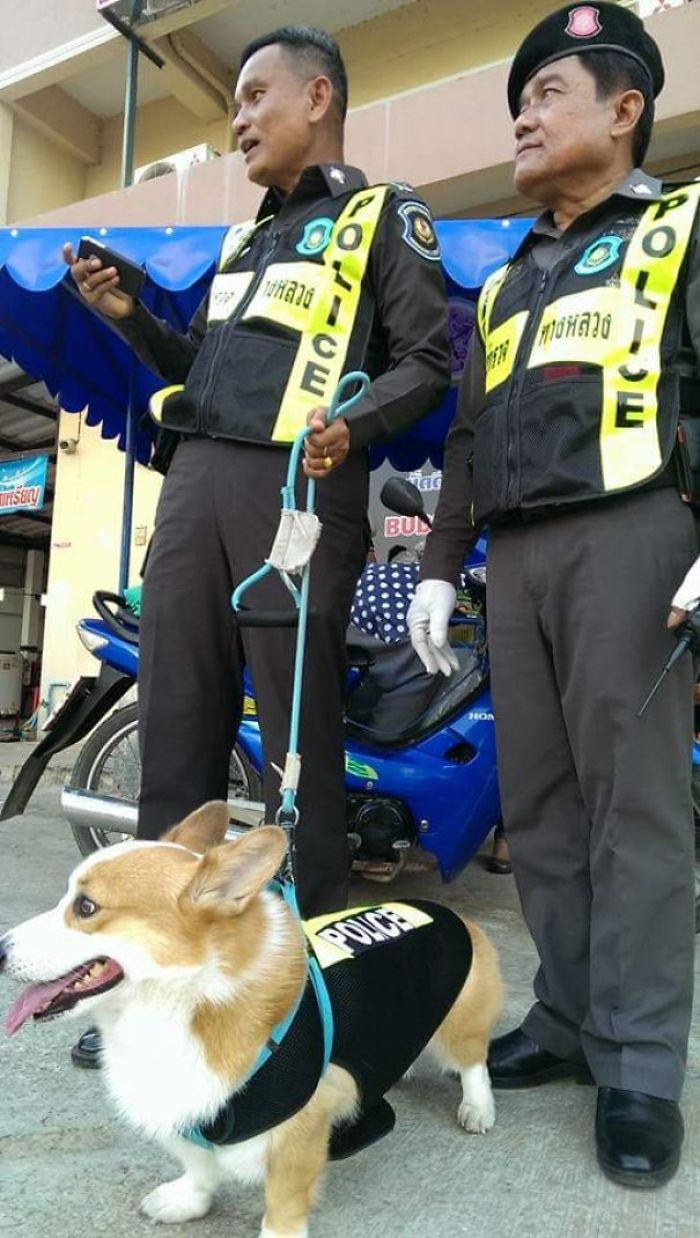 Thai Police Has A Corgi K-9