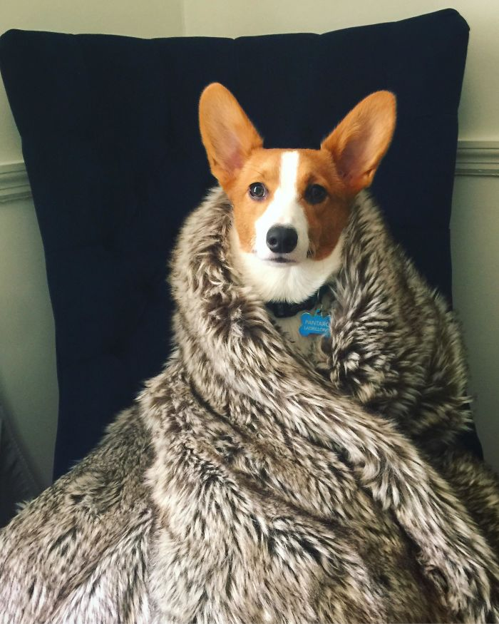 Will You Bend The Knee For House Corgi?