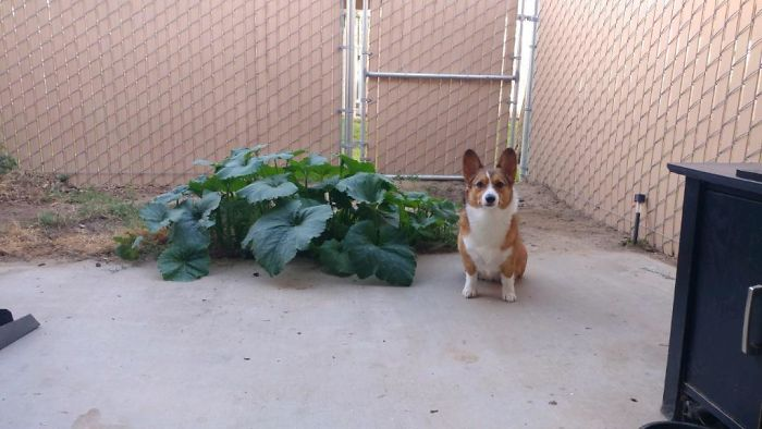My Friend's Corgi Ate Pumpkin Seeds, Pooped Them Out, And They Started Growing. Here She Is Sitting Next To Her Work
