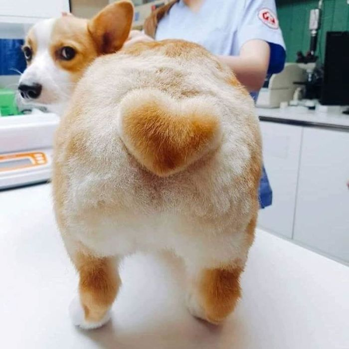 Corgi Is Unimpressed With His New Heart Butt Cut