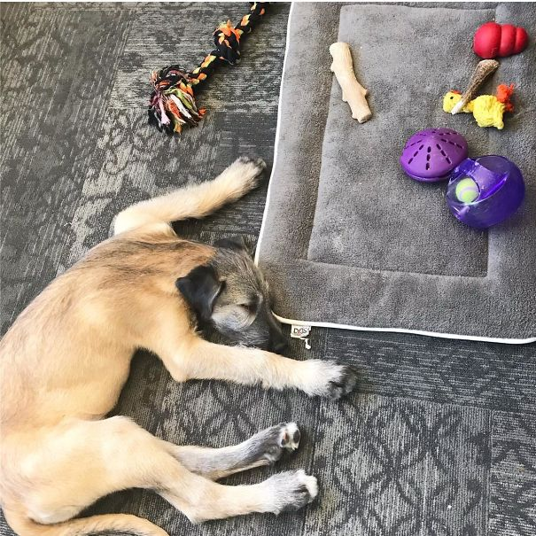 My Puppy Places All Of His Toys On His Bed And Then Sleeps On The Floor. Go Figure